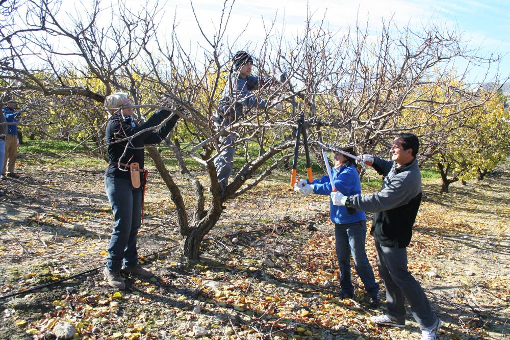 Veinte personas aprenden a podar rboles frutales - Poda del cerezo joven ...